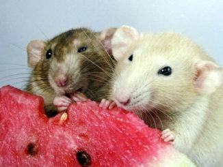 уход за декоративной крысой