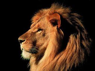 прекрасное фото льва